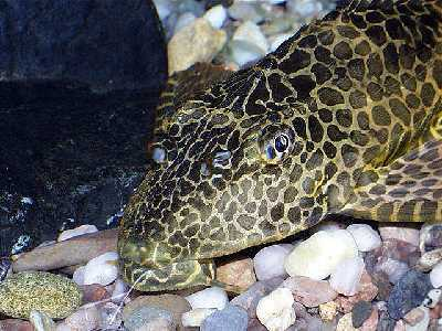 Glyptoperichthys gibbiceps - Leopard pleco