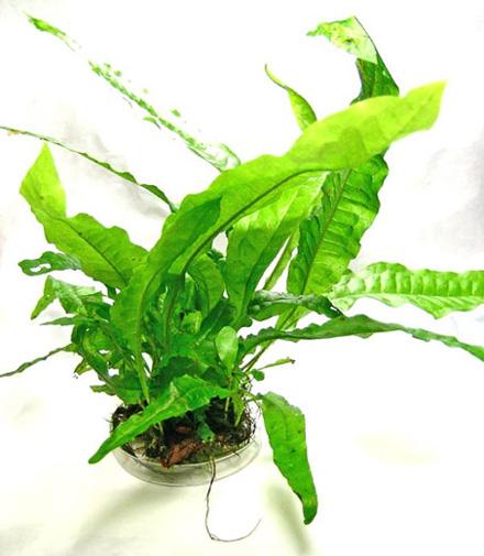 Microsorum pteropus